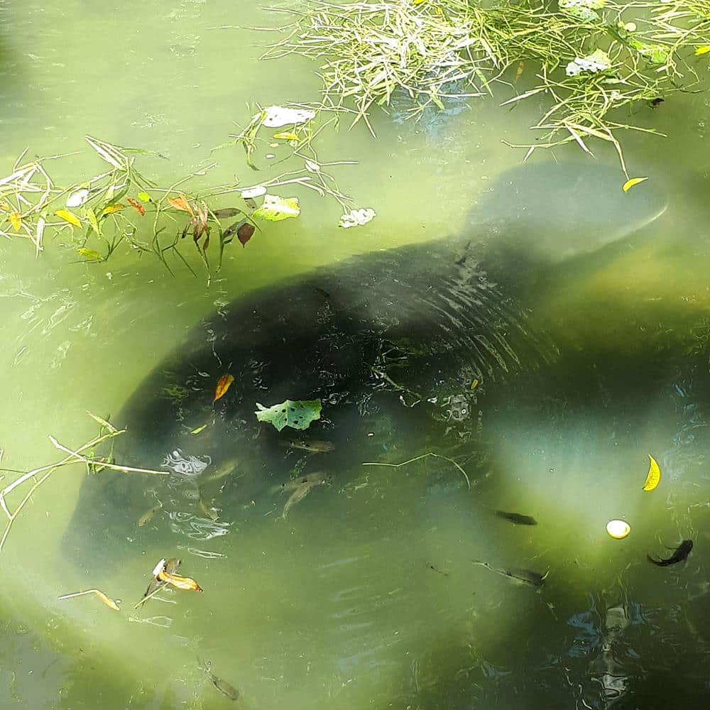 Peixe-boi