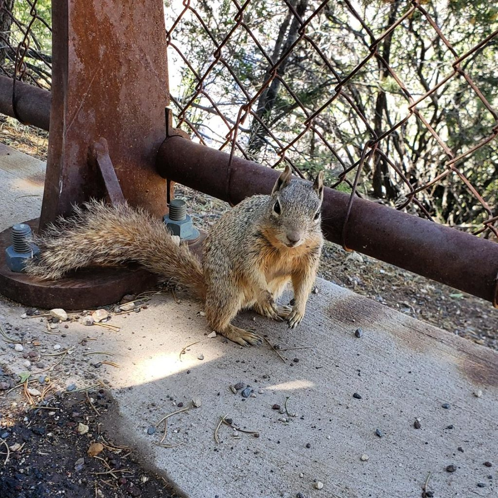 esquilo no Grand Canyon