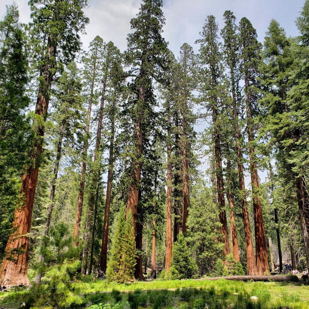 Parque Nacional de Yosemite - Mariposa Grove