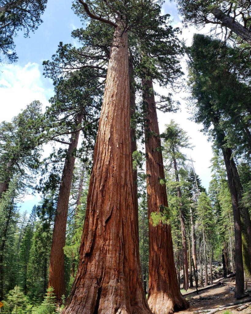 sequoias gigantes na california - mariposa grove