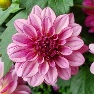 Flor cor de rosa - Jardins de Singapura