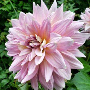 Flor rosa - jardins de Singapura