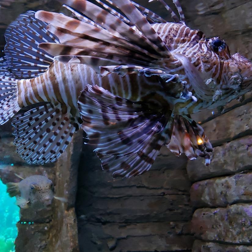 peixe leao, lion fish,